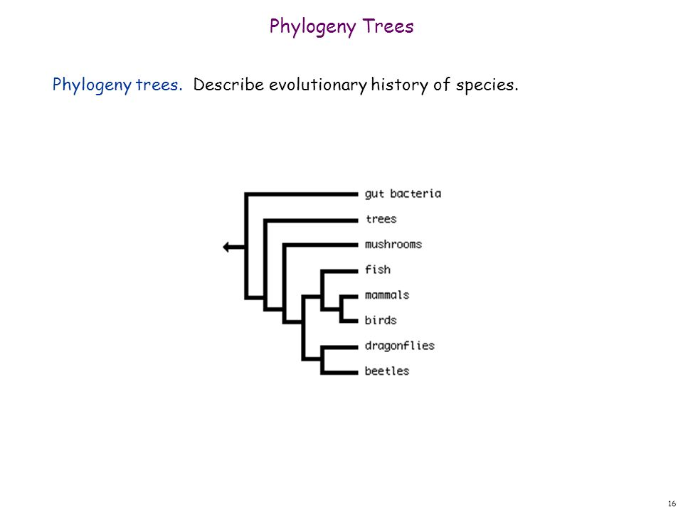 16 Phylogeny Trees Phylogeny trees. Describe evolutionary history of species.