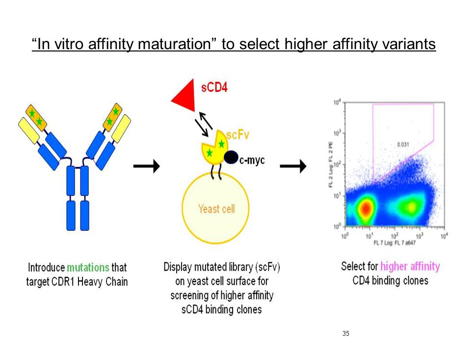 "35 ""In vitro affinity maturation"" to select higher affinity variants"