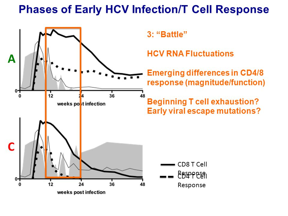 Phases of Early HCV Infection/T Cell Response A C 3: Battle HCV RNA Fluctuations Emerging differences in CD4/8 response (magnitude/function) Beginning T cell exhaustion.