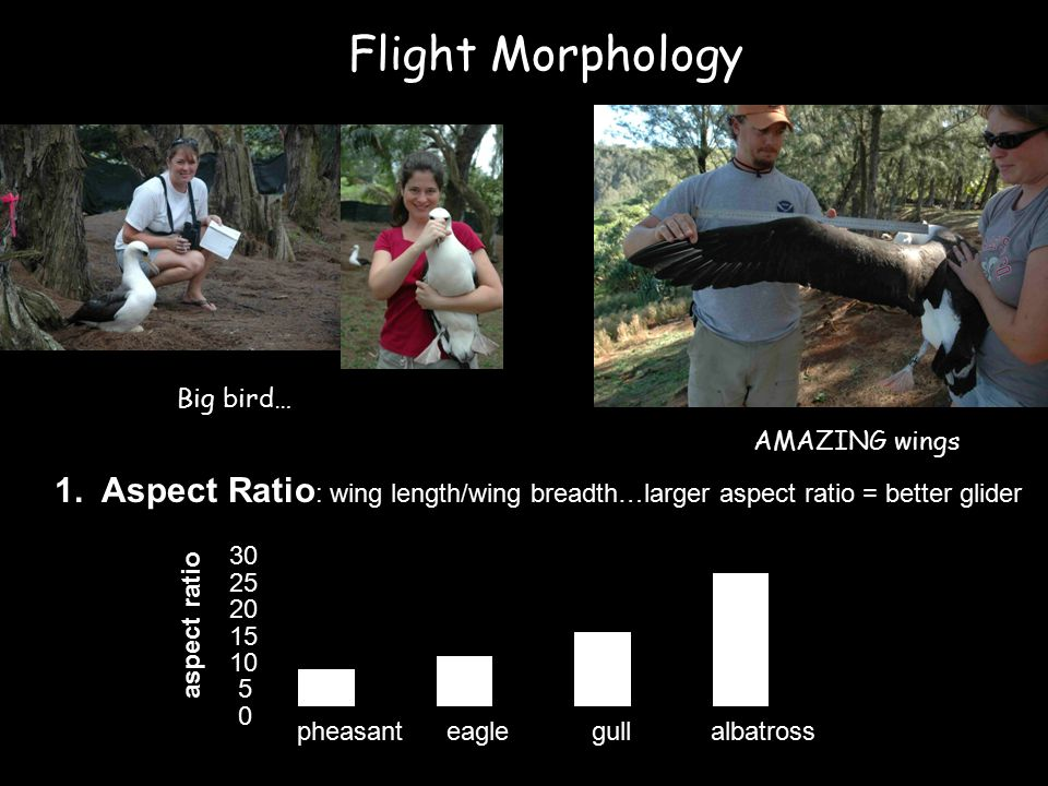 Flight Morphology Big bird… AMAZING wings 1.
