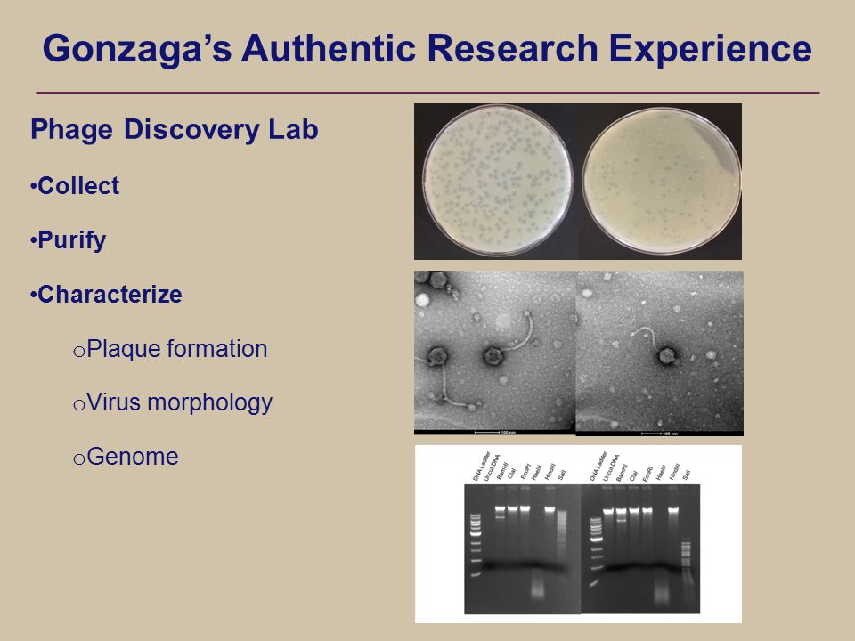 Gonzaga's Authentic Research Experience Phage Discovery Lab Collect Purify Characterize o Plaque formation o Virus morphology o Genome