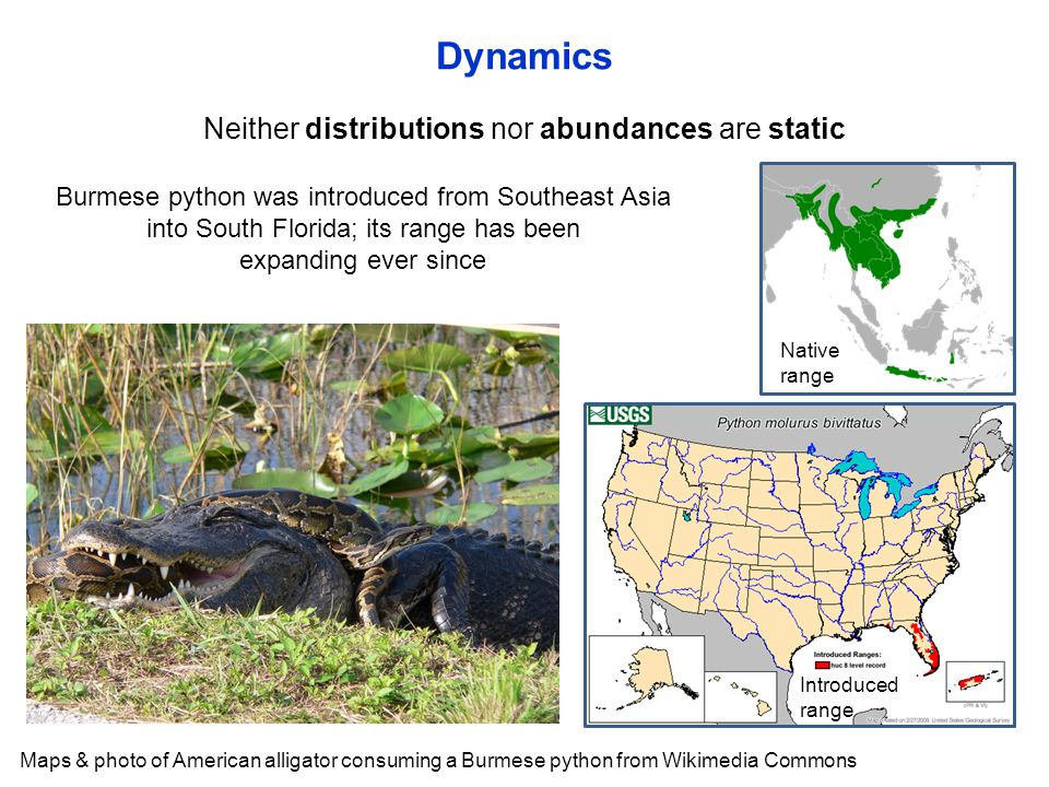 Neither distributions nor abundances are static Dynamics Maps & photo of American alligator consuming a Burmese python from Wikimedia Commons Burmese python was introduced from Southeast Asia into South Florida; its range has been expanding ever since Native range Introduced range