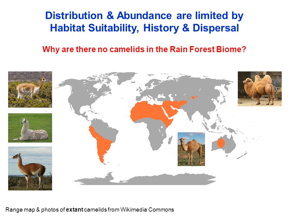 Why are there no camelids in the Rain Forest Biome? Distribution & Abundance are limited by Habitat Suitability, History & Dispersal Range map & photo