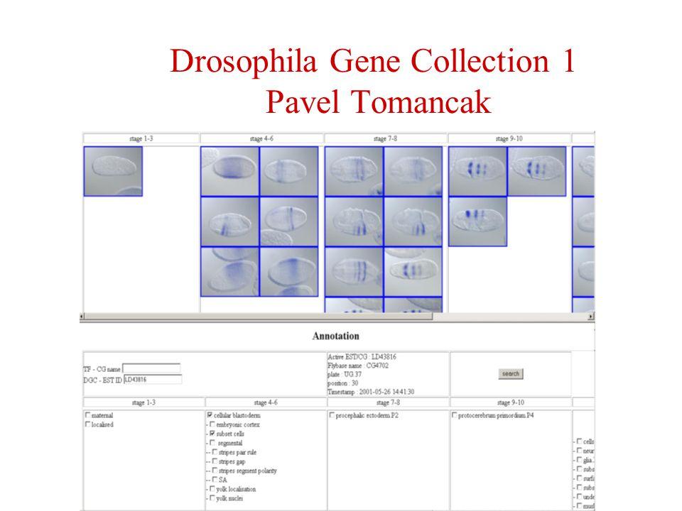 Drosophila Gene Collection 1 Pavel Tomancak