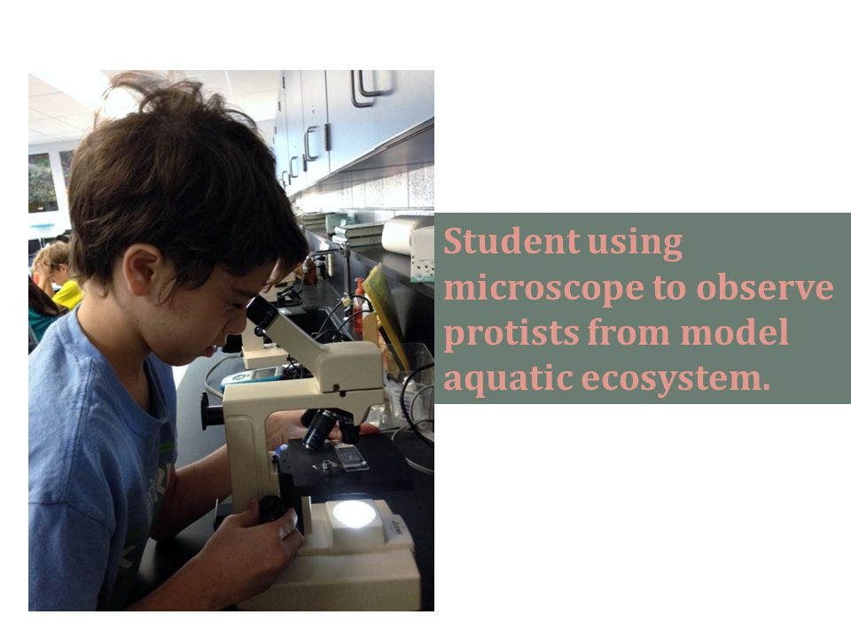 Student using microscope to observe protists from model aquatic ecosystem.