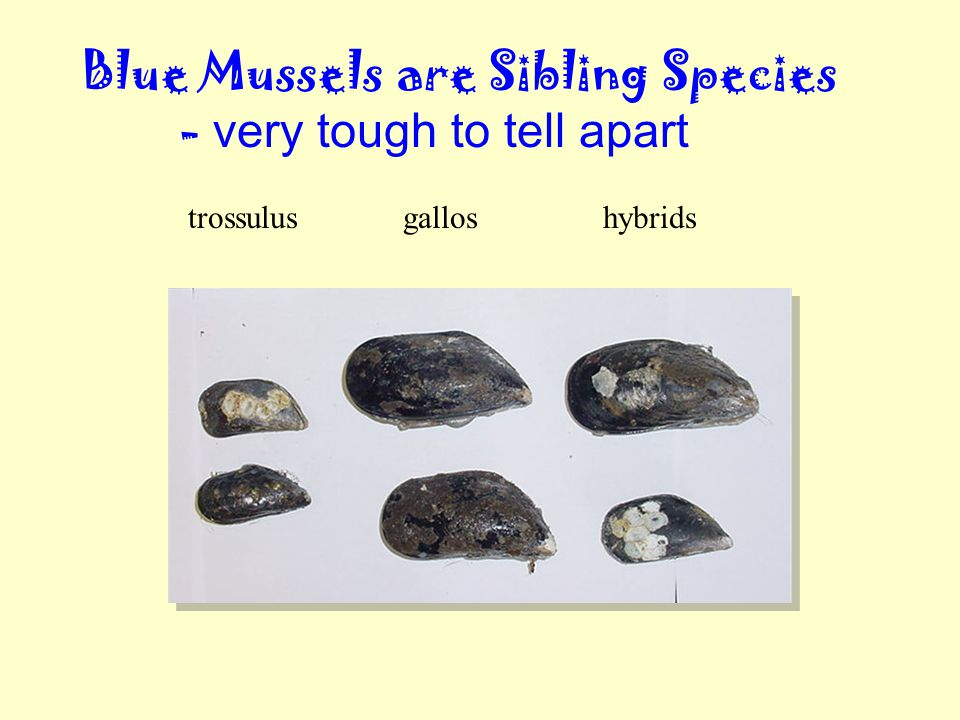 Blue Mussels are Sibling Species - very tough to tell apart trossulusgalloshybrids