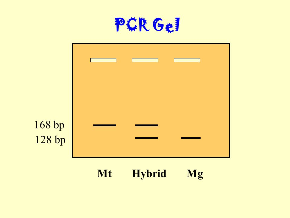 PCR Gel Mt Hybrid Mg 168 bp 128 bp