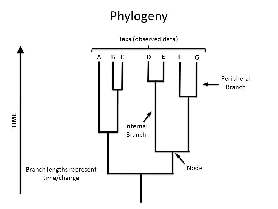 Phylogeny TIME A B G F E D C Internal Branch Peripheral Branch Taxa (observed data) Branch lengths represent time/change Node