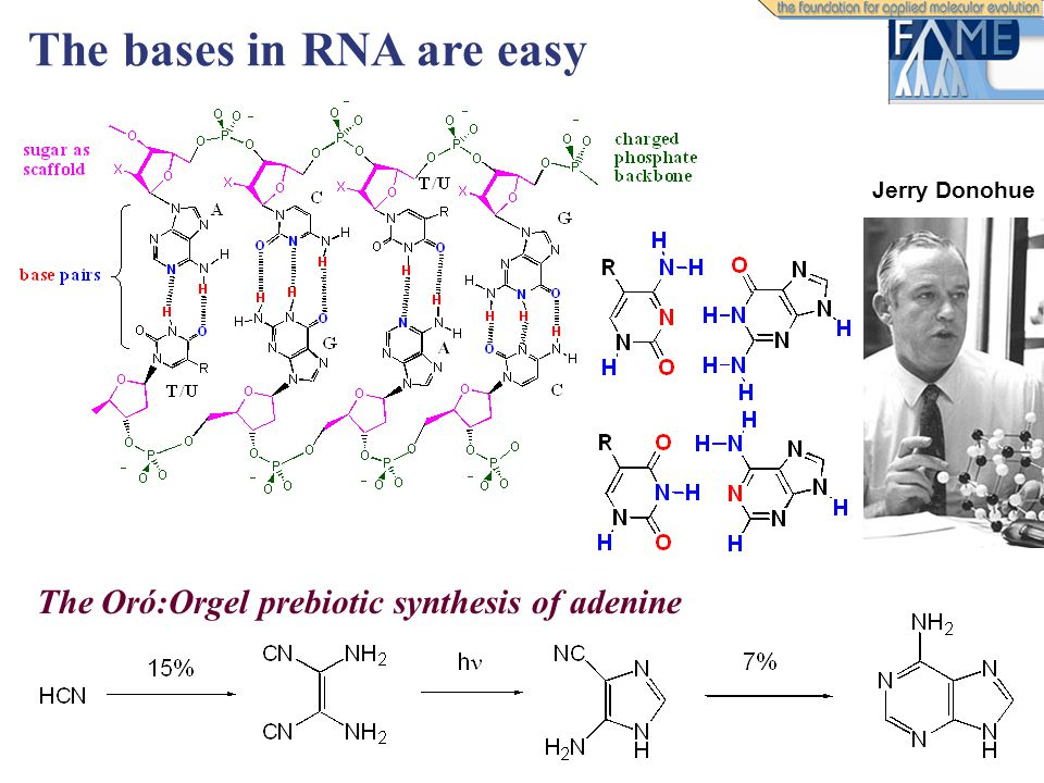 The Oró:Orgel prebiotic synthesis of adenine The bases in RNA are easy Jerry Donohue