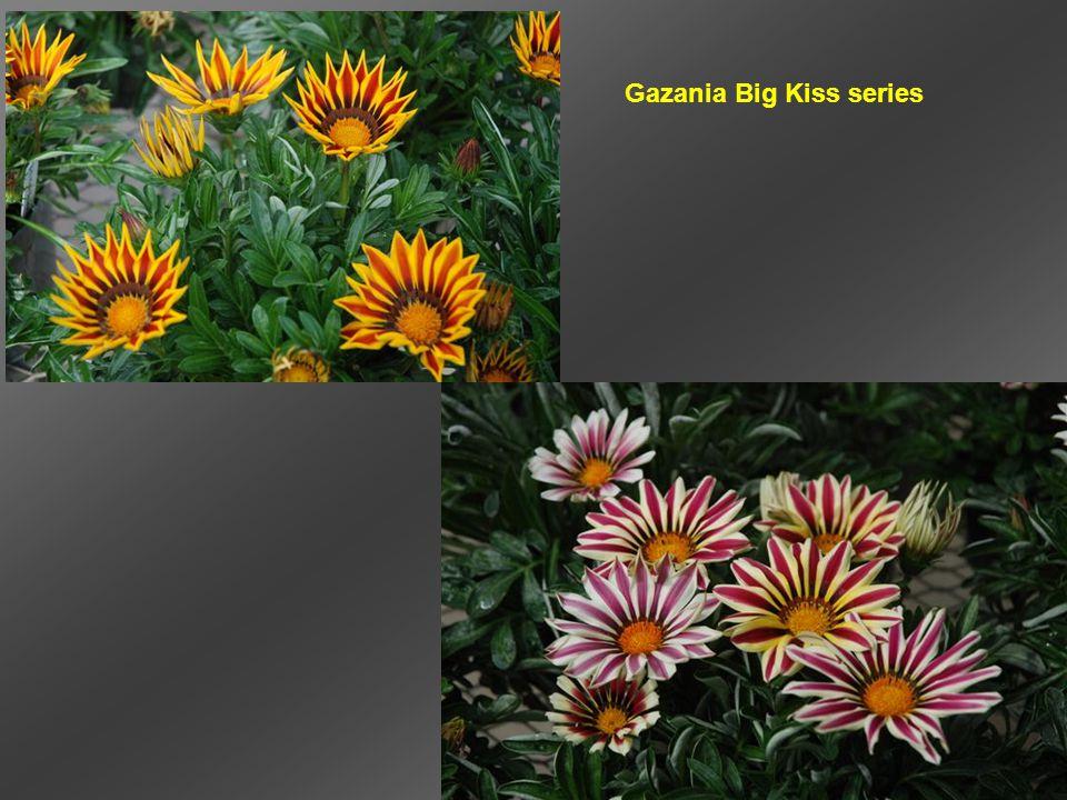 Gazania Big Kiss series