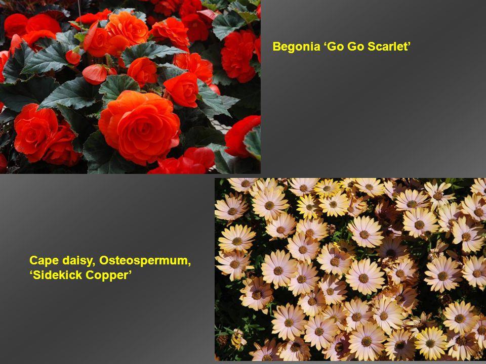 Begonia 'Go Go Scarlet' Cape daisy, Osteospermum, 'Sidekick Copper'