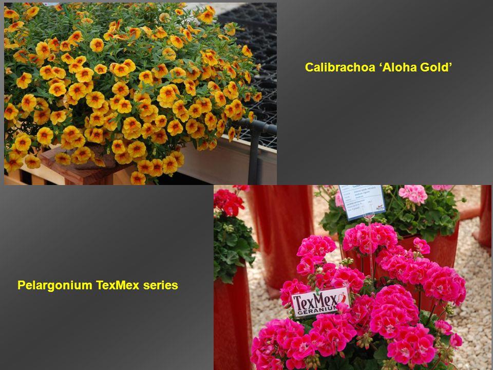 Calibrachoa 'Aloha Gold' Pelargonium TexMex series