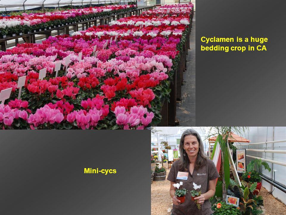 Cyclamen is a huge bedding crop in CA Mini-cycs