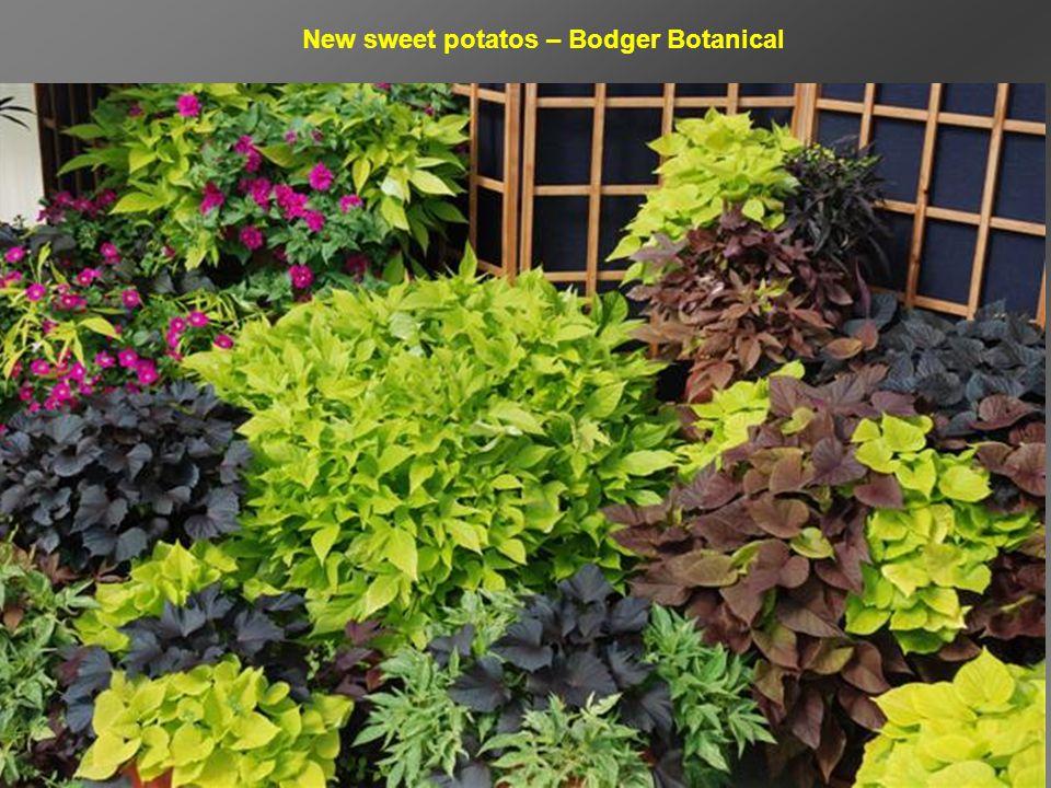 New sweet potatos – Bodger Botanical