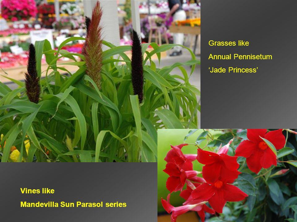 Grasses like Annual Pennisetum 'Jade Princess' Vines like Mandevilla Sun Parasol series