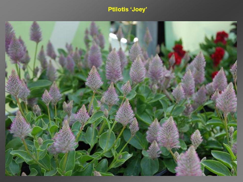 Ptilotis 'Joey'