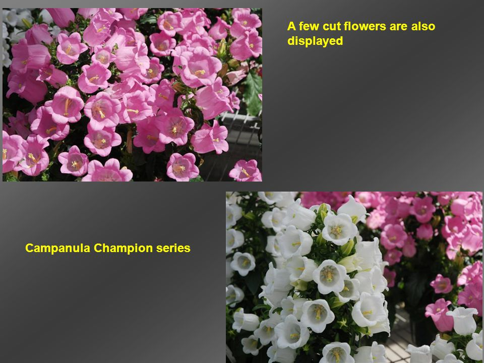 A few cut flowers are also displayed Campanula Champion series