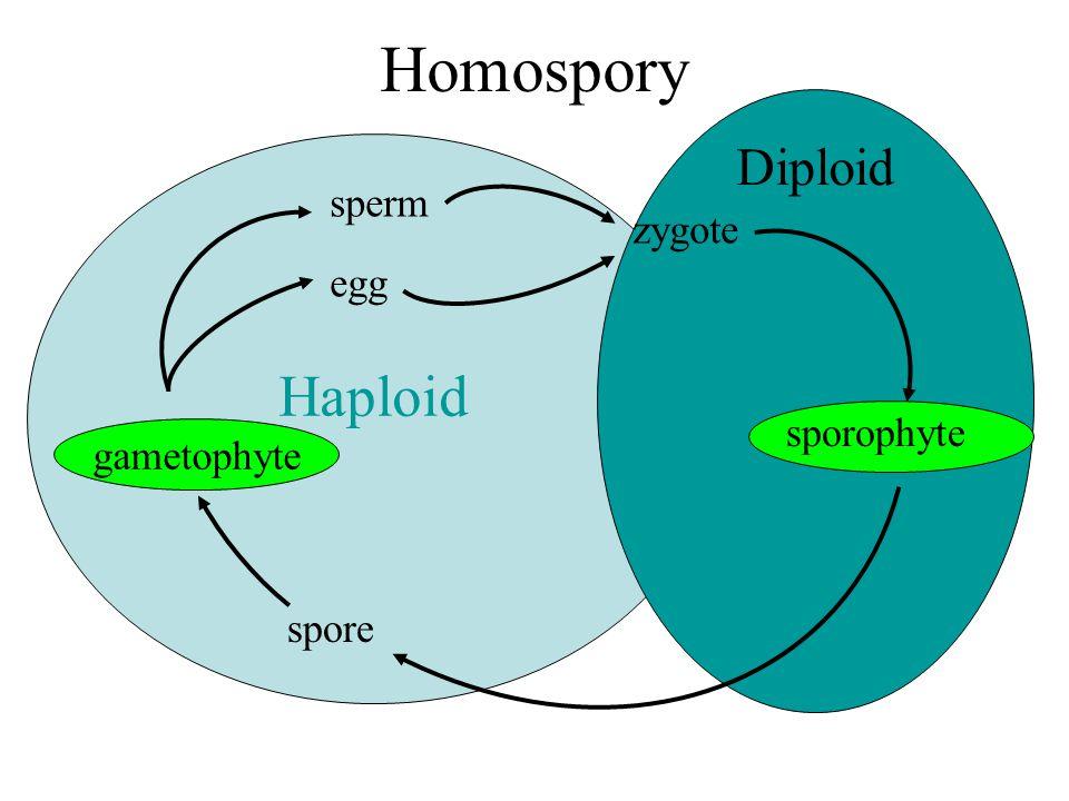 Haploid Diploid Heterospory female gametophyte sperm egg zygote sporophyte megaspore microspore male gametophyte