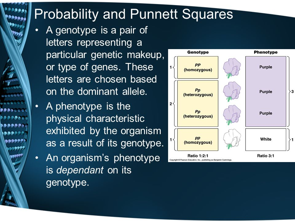 Probability and Punnett Squares A genotype is a pair of letters representing a particular genetic makeup, or type of genes.