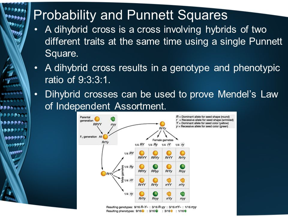 Probability and Punnett Squares A dihybrid cross is a cross involving hybrids of two different traits at the same time using a single Punnett Square.