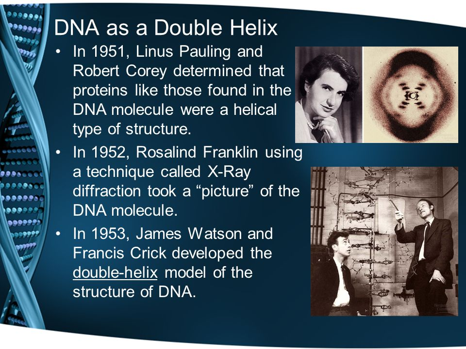 DNA as a Double Helix In 1951, Linus Pauling and Robert Corey determined that proteins like those found in the DNA molecule were a helical type of structure.