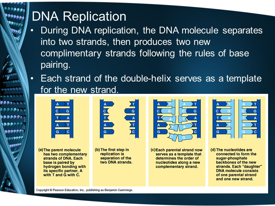 DNA Replication During DNA replication, the DNA molecule separates into two strands, then produces two new complimentary strands following the rules of base pairing.