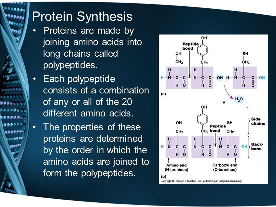 Protein Synthesis Proteins are made by joining amino acids into long chains called polypeptides.