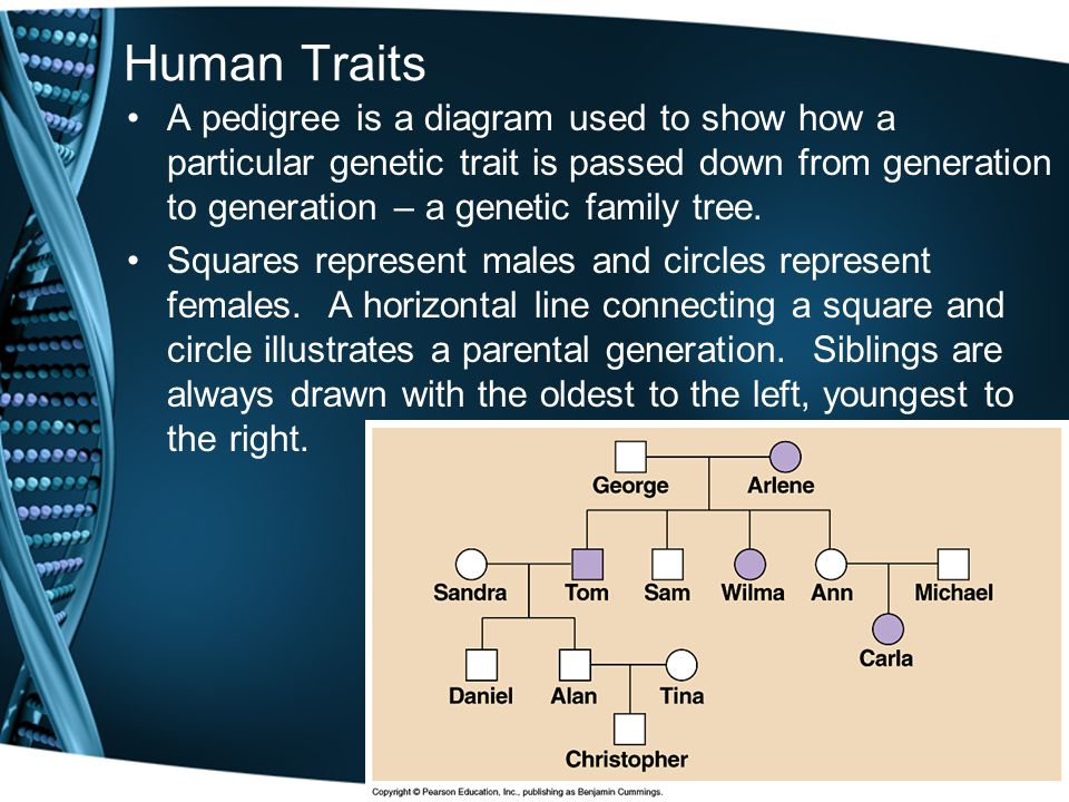 Human Traits A pedigree is a diagram used to show how a particular genetic trait is passed down from generation to generation – a genetic family tree.