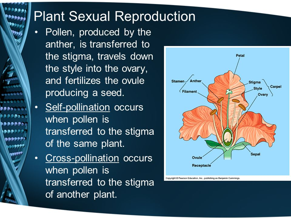 Plant Sexual Reproduction Pollen, produced by the anther, is transferred to the stigma, travels down the style into the ovary, and fertilizes the ovule producing a seed.