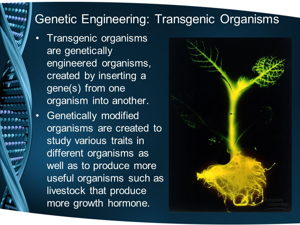Genetic Engineering: Transgenic Organisms Transgenic organisms are genetically engineered organisms, created by inserting a gene(s) from one organism into another.
