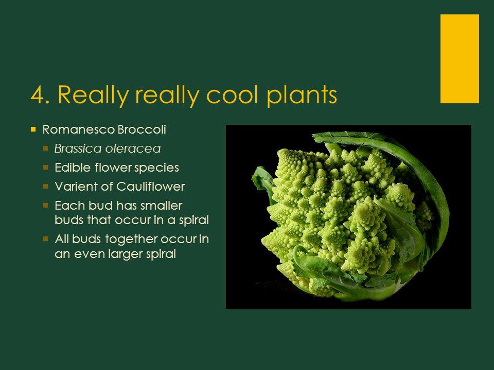 4. Really really cool plants  Romanesco Broccoli  Brassica oleracea  Edible flower species  Varient of Cauliflower  Each bud has smaller buds tha