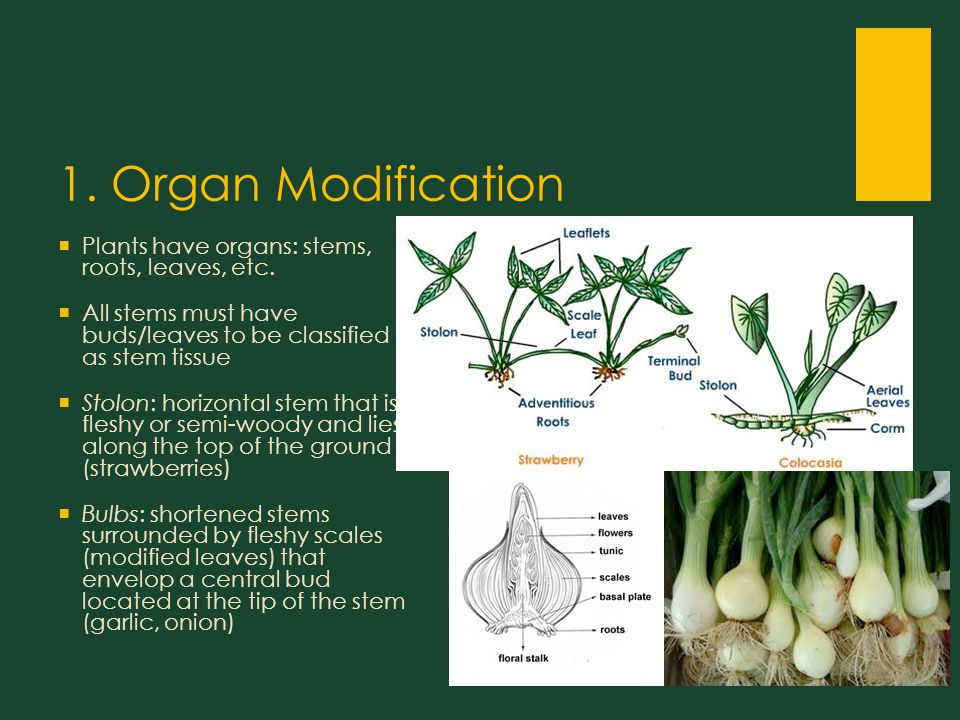 1. Organ Modification  Plants have organs: stems, roots, leaves, etc.