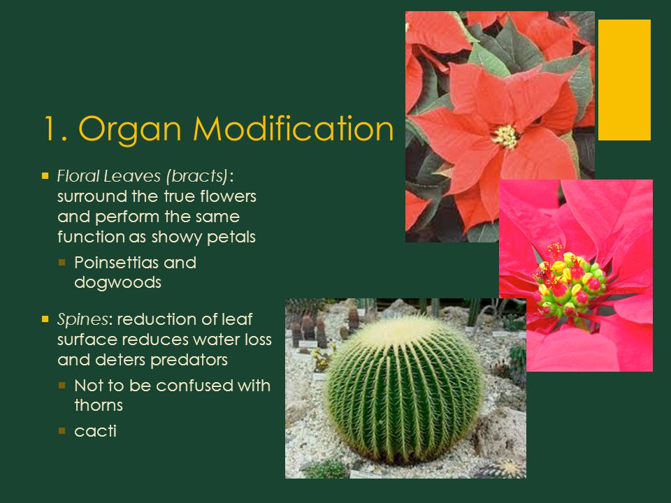 1. Organ Modification  Floral Leaves (bracts): surround the true flowers and perform the same function as showy petals  Poinsettias and dogwoods  S