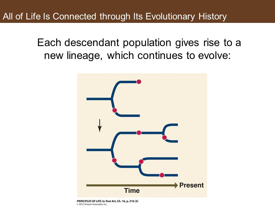 All of Life Is Connected through Its Evolutionary History Each descendant population gives rise to a new lineage, which continues to evolve: