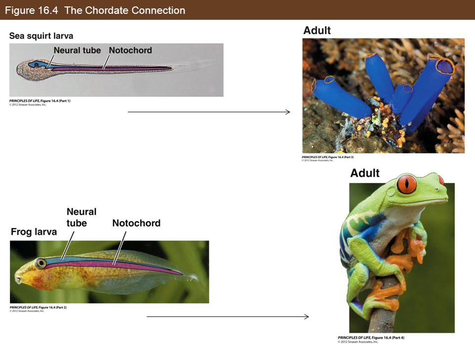 Figure 16.4 The Chordate Connection