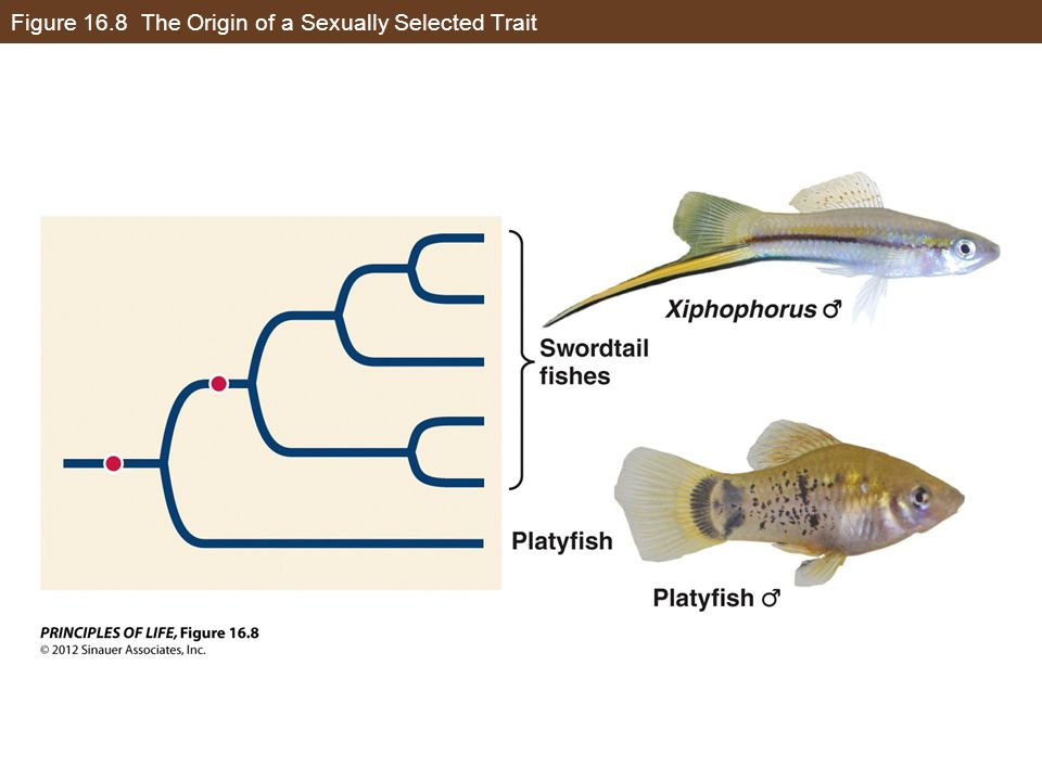 Figure 16.8 The Origin of a Sexually Selected Trait