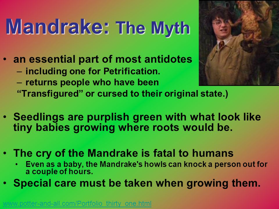 """Mandrake: The Myth an essential part of most antidotes –including one for Petrification. –returns people who have been """"Transfigured"""" or cursed to the"""