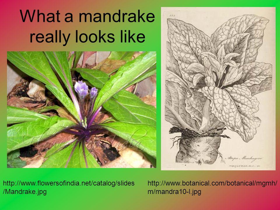 What a mandrake really looks like http://www.botanical.com/botanical/mgmh/ m/mandra10-l.jpg http://www.flowersofindia.net/catalog/slides /Mandrake.jpg
