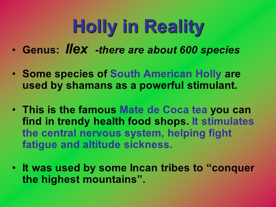 Holly in Reality Genus: Ilex -there are about 600 species Some species of South American Holly are used by shamans as a powerful stimulant. This is th