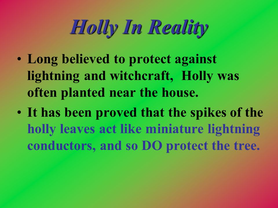 Holly In Reality Long believed to protect against lightning and witchcraft, Holly was often planted near the house. It has been proved that the spikes