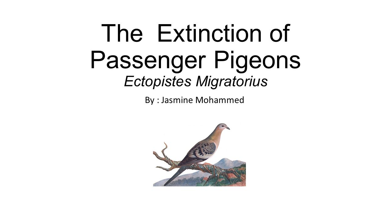 The Extinction of Passenger Pigeons Ectopistes Migratorius By : Jasmine Mohammed