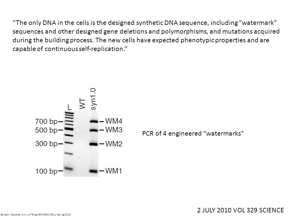 The only DNA in the cells is the designed synthetic DNA sequence, including watermark sequences and other designed gene deletions and polymorphisms, and mutations acquired during the building process.