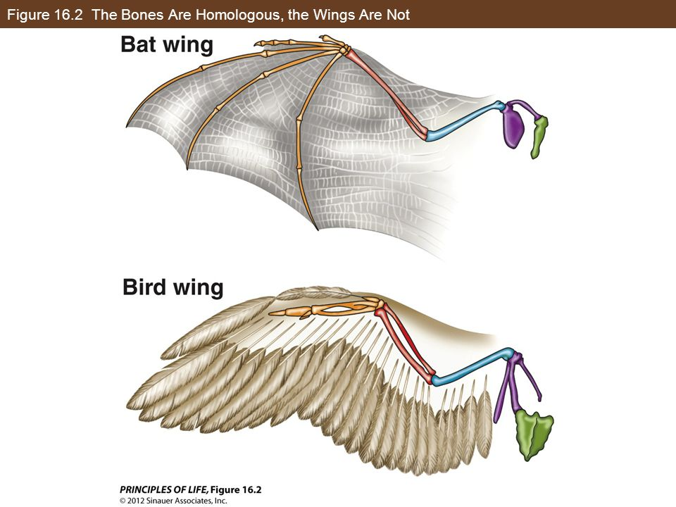 Figure 16.2 The Bones Are Homologous, the Wings Are Not