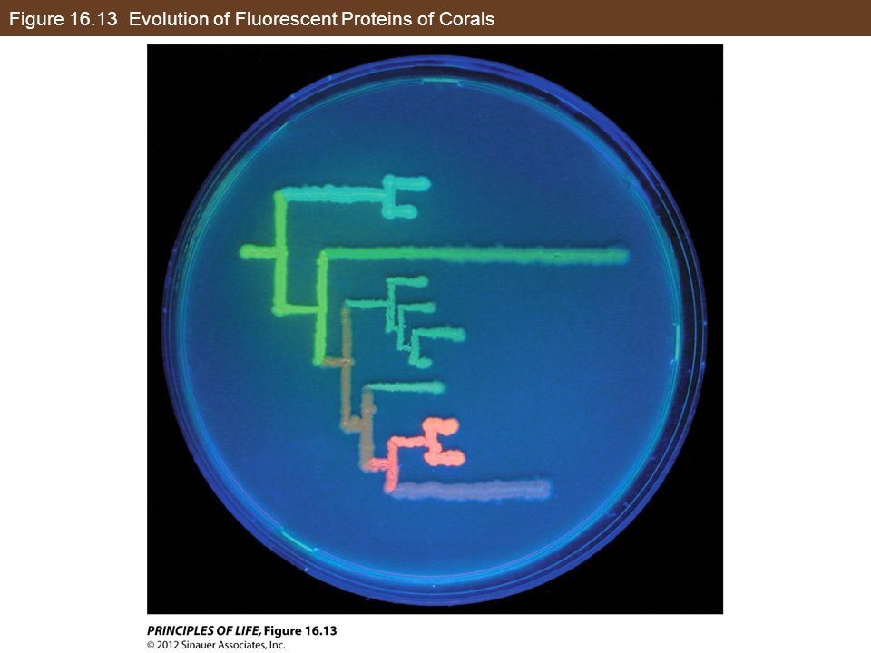 Figure 16.13 Evolution of Fluorescent Proteins of Corals