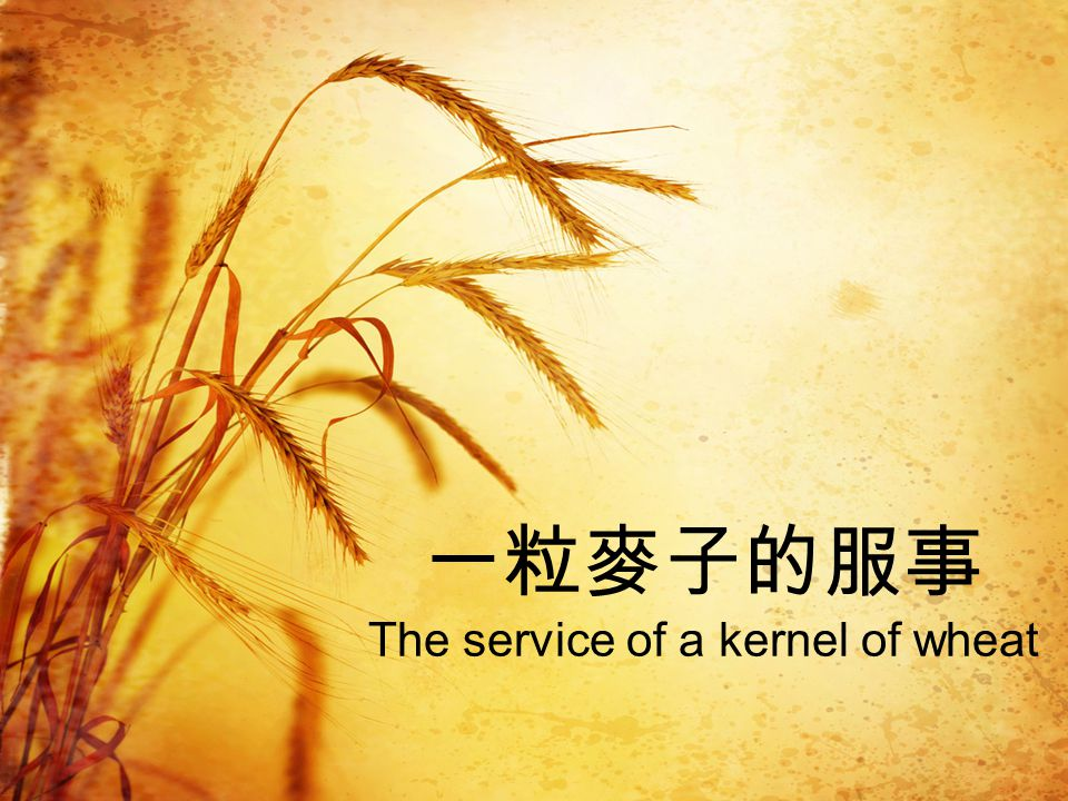 一粒麥子的服事 The service of a kernel of wheat