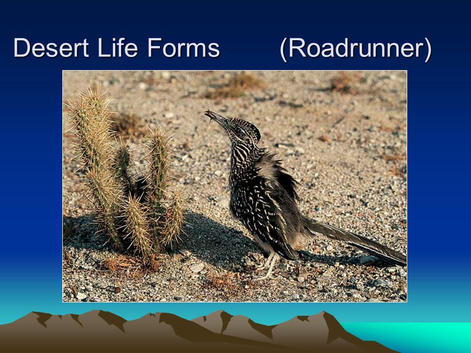 Desert Life Forms (Roadrunner)