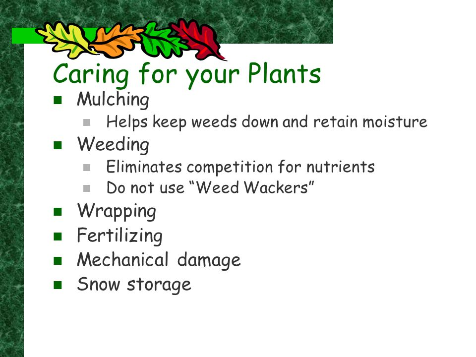 "Caring for your Plants Mulching Helps keep weeds down and retain moisture Weeding Eliminates competition for nutrients Do not use ""Weed Wackers"" Wrapp"