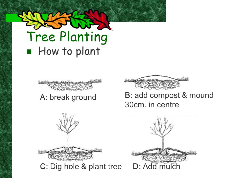 Tree Planting How to plant A: break ground B: add compost & mound 30cm. in centre C: Dig hole & plant treeD: Add mulch