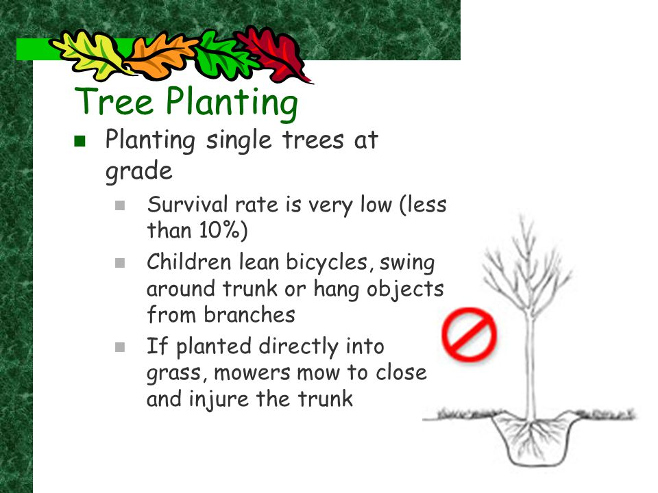 Tree Planting Planting single trees at grade Survival rate is very low (less than 10%) Children lean bicycles, swing around trunk or hang objects from