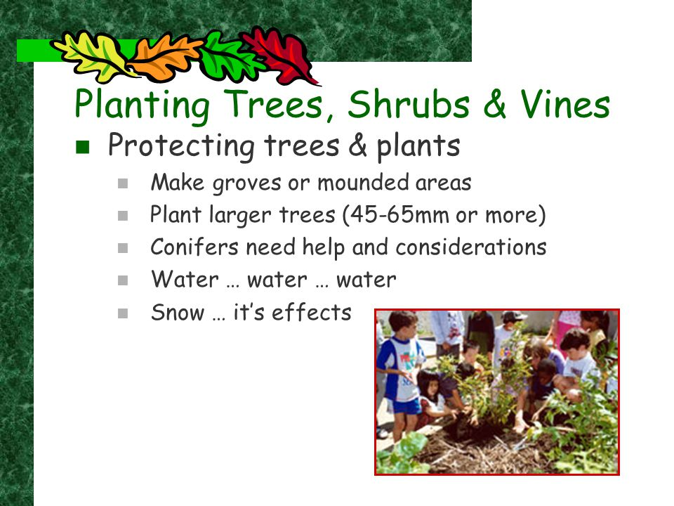 Caring for your Plants Mulching Helps keep weeds down and retain moisture Weeding Eliminates competition for nutrients Do not use Weed Wackers Wrapping Fertilizing Mechanical damage Snow storage